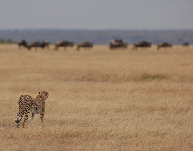 Cheetah in the Serengeti - full res - small image