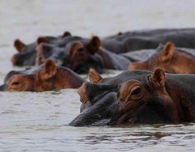 Hippo - Selous Riverside Camp - small