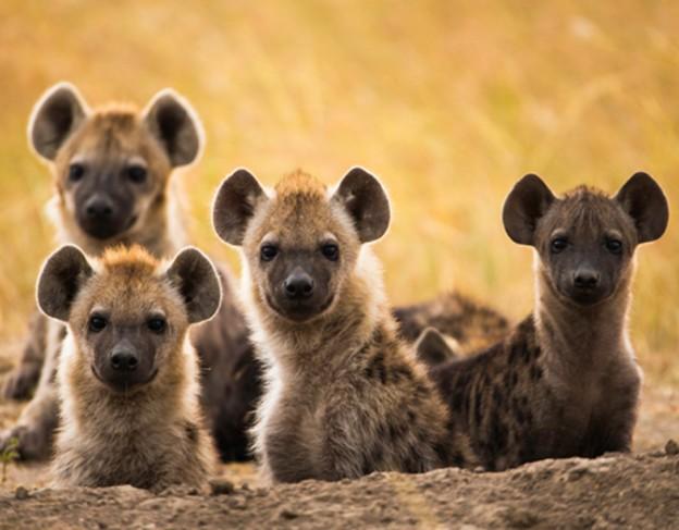 elsas_kopje – wetu – spotted hyena
