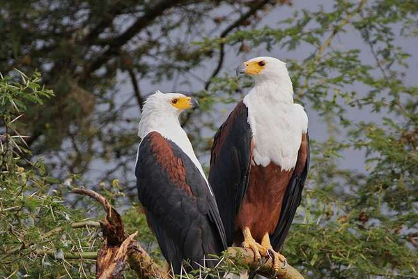 Fish Eagles in Queen Elizabeth National Park