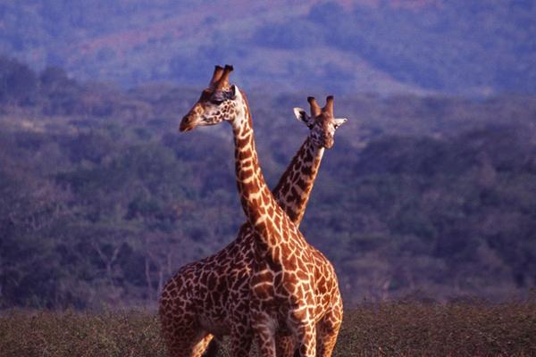 Giraffe in Akagera