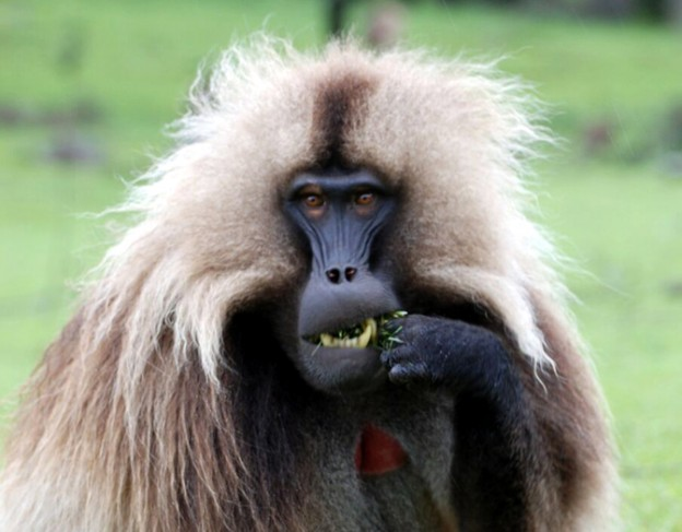 Gelada in the Simien Mountains - Full res - Dinknesh