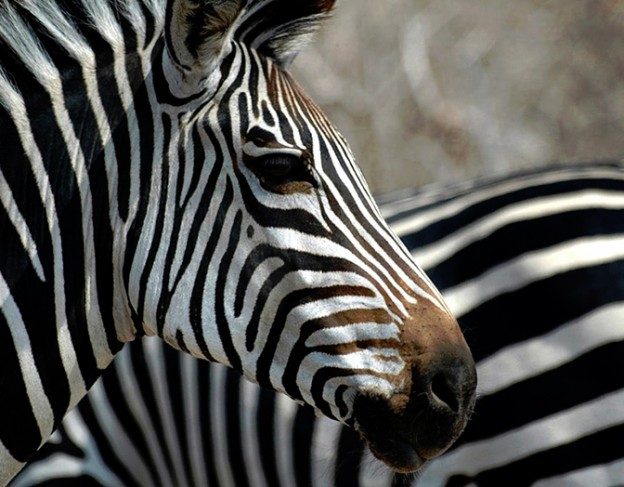 Zebra - full res - flat dogs camp - small