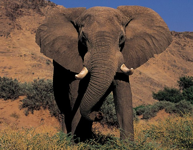 Elephant - full res - Kipwe