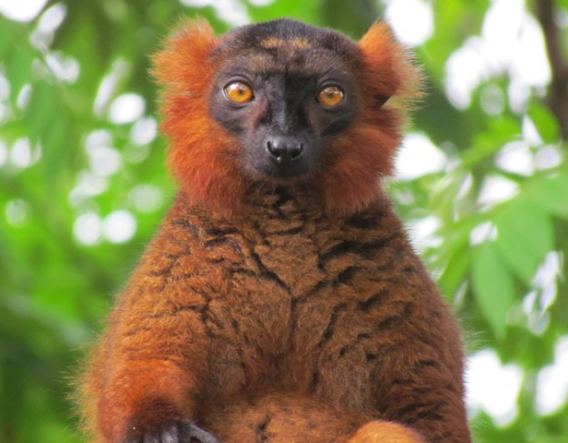 Ranomafana- Lemur 2 - full res - ICT - small