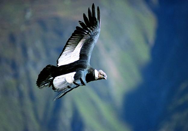 Condor Soars